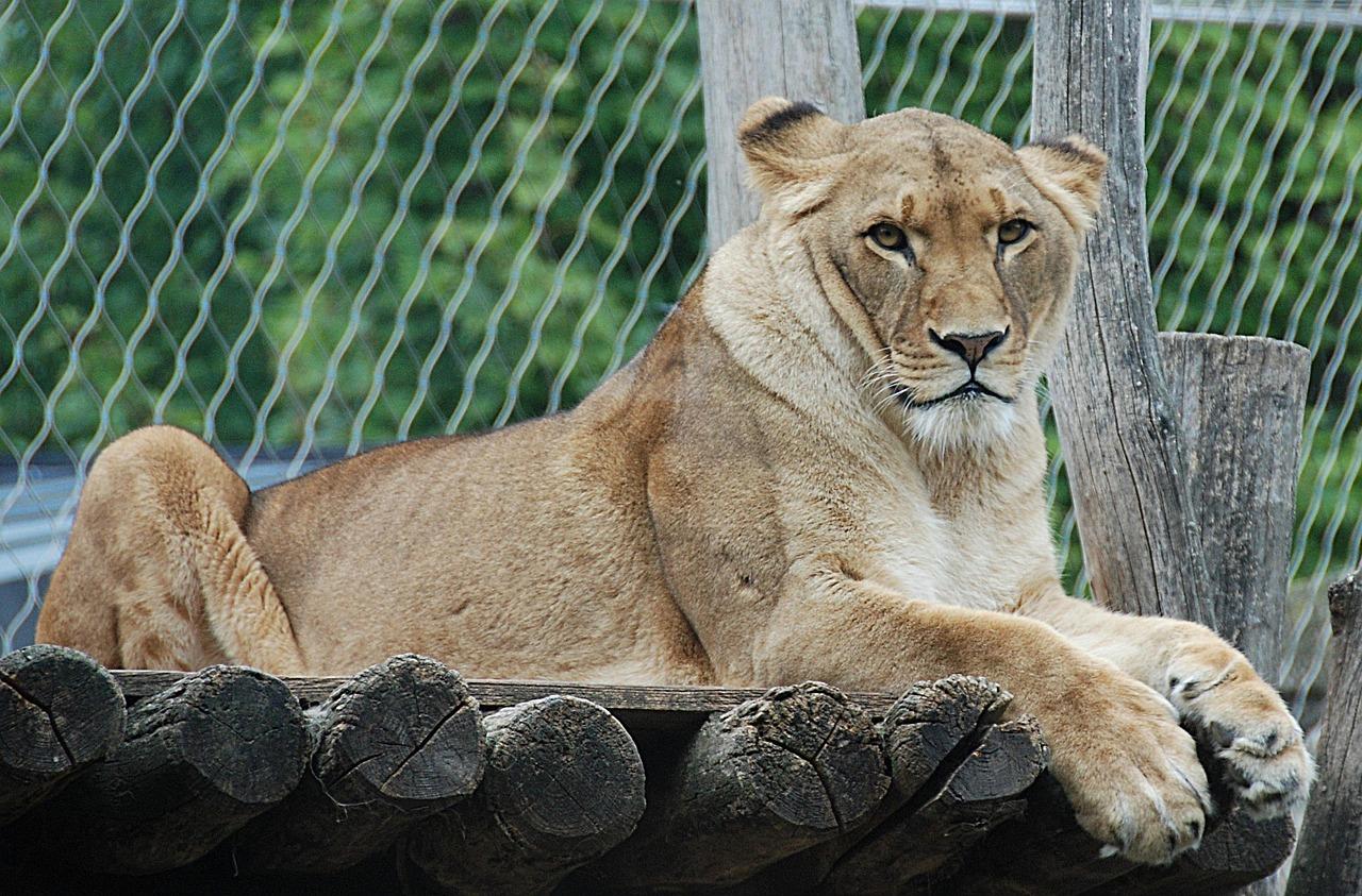 lion-1577009_1280